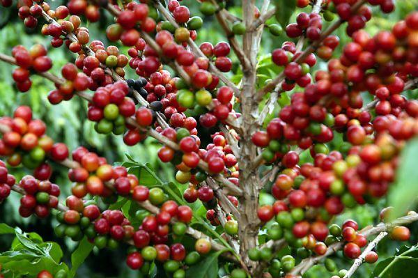 cafe-conilon